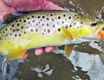 One of many lovely brown trout caught on the Strike Tiger nymph in orange spawn colour in autumn.