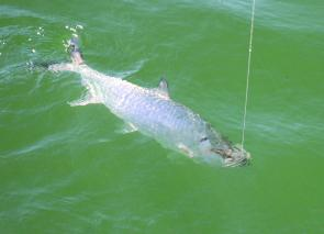 Tarpon are easy to spot on calm waters as their protruding dorsal fin gently wavers.