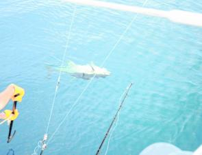 A trolled yellowfin comes to the gaff – what every skipper wants to see from the flybridge.