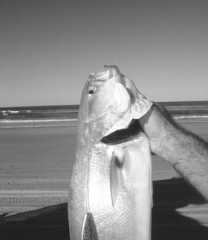 Tailor love slugs. This big fish nailed a Slider cast into the shore break.