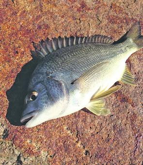 This year we saw more bream caught than most years. Most of the fish were taken land-based from Mt Martha Marina and along the rock wall in front of McCrae.