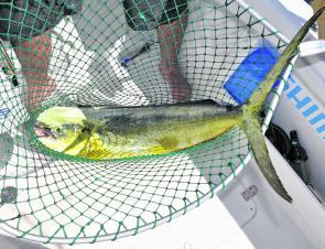 With the warm, blue currents pushing hard from the north come mahi mahi and wahoo. A big landing net is a great way of keeping threshing mahi mahi under control in the boat.