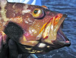Due to their large mouths these cod have no trouble engulfing the bait.