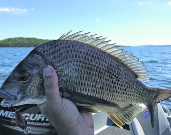 This chunky bream took a liking to the author's shallow running hardbody lure during a recent flats session.