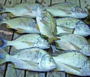 This good bag of bream was caught near the drop-over into the lake. The better catches this month should be at the southern end of the lake, which is warmer thanks to the power station outlets.