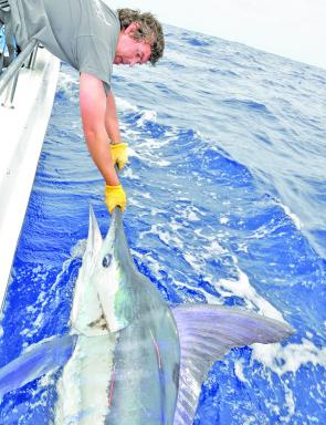 Striped marlin encounters should grow in number as the water cools. Fat Winter fish over 100kg are by no means uncommon.