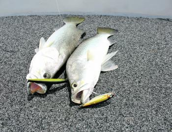 There is plenty of barra to be found in the run off.