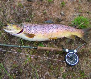 The Jindabyne browns are in fantastic condition, the best in years, and big fish are being caught.