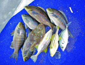 A typical Winter mixed bag – trevally, luderick and leatherjackets – can provide fine dining for days.