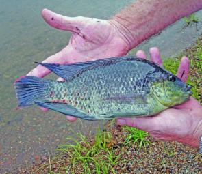 Bait fishing with worms from the shore at Lake Somerset will turn up some sizeable tilapia. Although these fish are considered a noxious species they are tasty on the plate.
