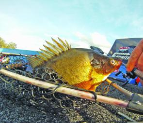 Yellowbelly (golden perch) have been whacking lures and devouring baits at Leslie and Coolmunda dams.