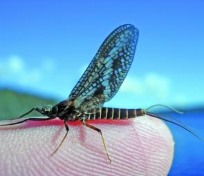 The mayfly dun in all its delicate glory. Photo courtesy Brendan Turriff.