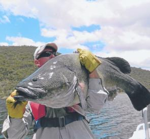 Ben Lemmon's massive cod, caught on a spinnerbait in Lake Burrinjuck, was too heavy for the scales but at 115cm must rate as one of the heaviest taken in the lake.