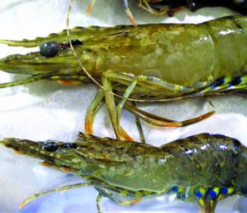 These prawns have classic WSSV white spot lesions visible.