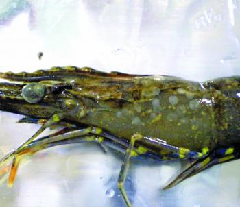 This virus quickly causes devastation to prawns, crabs and other estuary species.
