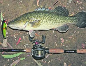 Small Murray cod have been a very common catch around Wangaratta all season, and heading into April this should continue. This little bloke took a Koolabung Codwalker.