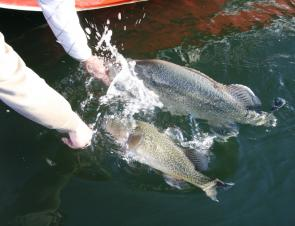A pair of magnificent Murray cod about to be released. Cod can be finally targeted again from December 1.