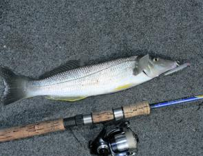 This whiting couldn't resist a Bassday Sugar Pen.