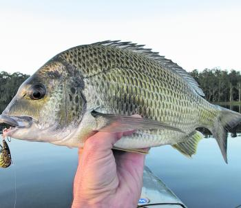 A lot of bream are in our estuaries right now. If you're keen to get stuck into some lure casting action be sure to get out on the water before the sun creeps over the horizon.