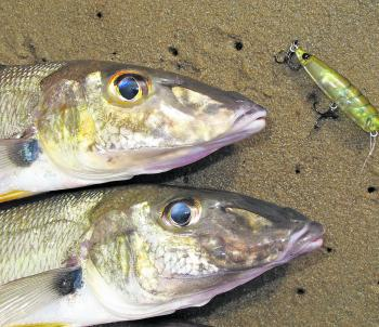 Whiting are out and about along the beaches and inside calmer waters. These fish fell to a small surface lure briskly walked across the top, but first class bait like pipis or beachworms are a better bet when beach fishing.
