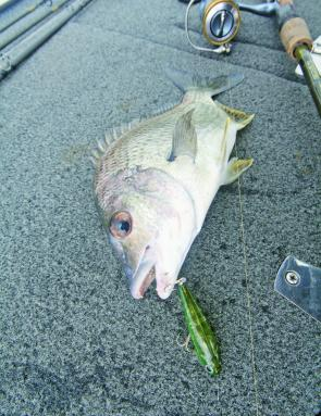 Bream like this are great fun on top water lures throughout February.
