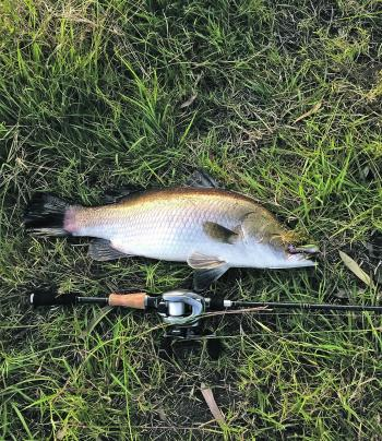 This late afternoon barra was taken just before closed season on the new River2Sea Dumbell Popper and Palms Molla baitcast rod.
