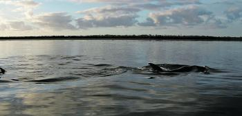 After these dolphins went through at dawn, the author caught a few EPs right under where they swam. Perch often live at the mouth of an estuary and have even been caught by surf anglers.