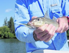 There are plenty of tasty whiting in the Richmond River. This one took a lure meant for school jew.