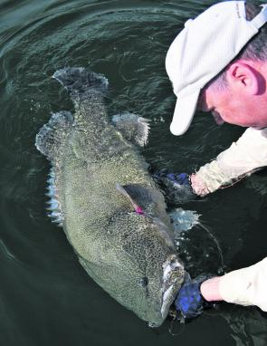 Marc Ainsworth with his massive metre-long Murray cod taken on Lake Eildon, which was of course released.
