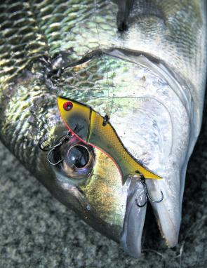 For boat anglers, blades are proving very effective when drifting the rock walls. Just cast close to the rocks, let the lure sink a bit and slowly lift the rod during the retrieve. Some bream shouldn't be too far away.