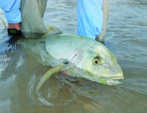 Golden Trevally are just one of the many species caught over the Weipa Fishing Classic weekend.