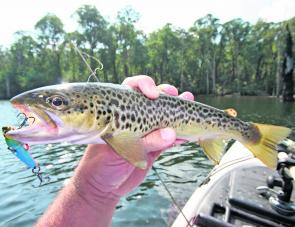 An average Lake William Hovell brown trout taken on a TT switchblade.