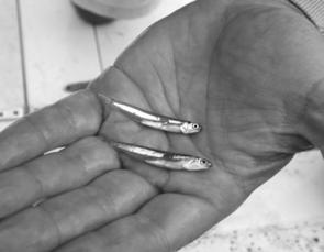 Mack tuna, longtails and tailor are feeding on Moreton Bay anchovies like these ones. Match your lures or flies to this size and you'll do very well.