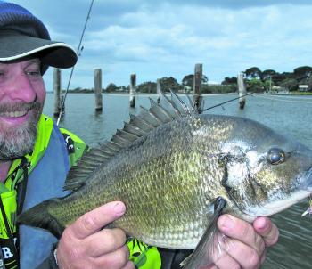 A cracking fat and round 45cm horse bream that slammed the author's pink Hurricane Kaplunk hardbody lure. This was one of 17 bream caught in the shallows near Raymond Island.