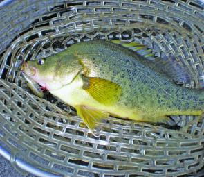 This golden perch fell to a Jackall TN60 in brown dog pattern in around 5m up near the Eagles Nest.