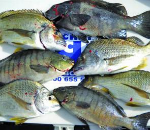 Mixed bags of bream and luderick are the order of the day in the estuaries and from the ocean rocks.