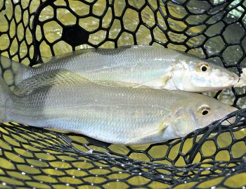 Whiting are a summer specialty around Tathra.