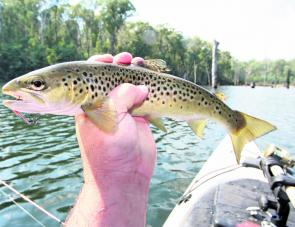 A typical sized brown trout from Lake William Hovell taken on a TT Switchblade in Peacock Blue colour.