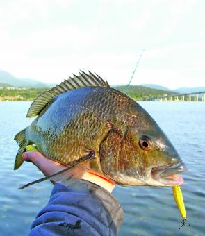 Bream are spreading out again after spawning – look for the shallow water and use good quality hardbodied lures.