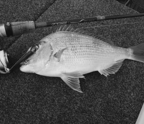 Some small snapper have been caught in the south of the bay by anglers using soft plastics.
