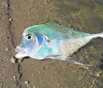 The author caught this diamond trevally in winter in the Sandy Straits.
