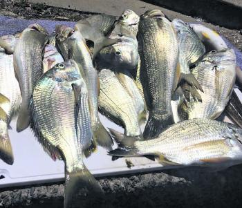 A quality mixed bag of whiting and bream.