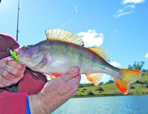 Ice jigs are favourites of the author when targeting redfin. A rod with a softer action tends to help with converting of hook-ups into landings.
