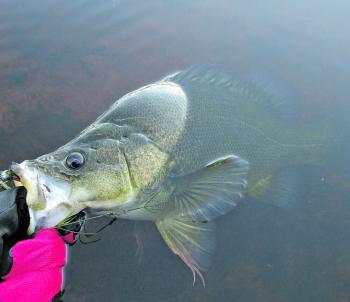 Soft plastics are a great lure to use at Googong, especially for the resident yellas.