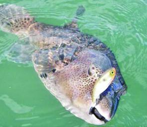 There are plenty of large toad fish that love eating Mask 60 in the River.