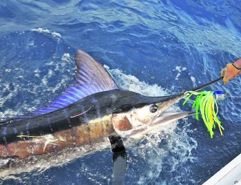 Striped marlin are spectacular, often hunt in packs, and create all sorts of mayhem as a result.