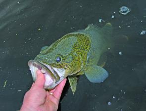 Murray cod are an awesome fish. Care needs to be taken when handling them if they are destined for release.