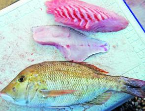 Take note of the beautiful white sweetlip fillet compared with the un-bled snapper.