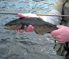 Fat little brown trout are the target in spring.