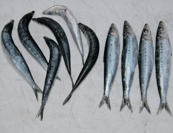 Any distorted pilchards should be straightened so that they will lay flat. They are much easy to straighten now than after they are salted. If you put them on the hook while distorted, they will spin in the current, creating line twist. Put aside any badl